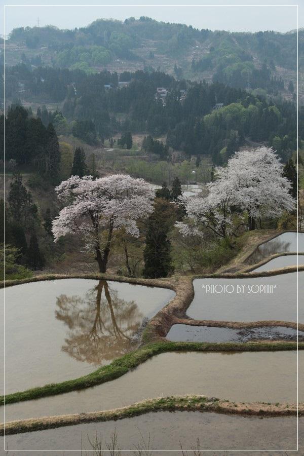 峠の棚田・桜-2