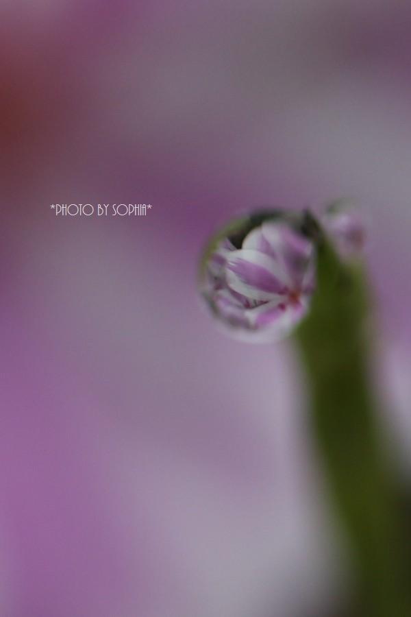雨上がり芝桜