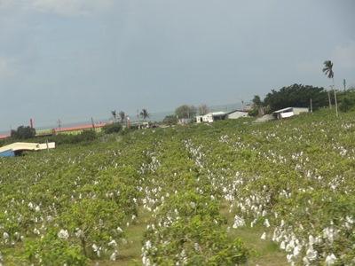 マンゴー畑1