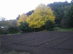 [写真]早朝の裏山の様子(いちょうの大木と耕耘されたばかりの畑)