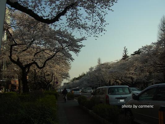 大学通の桜