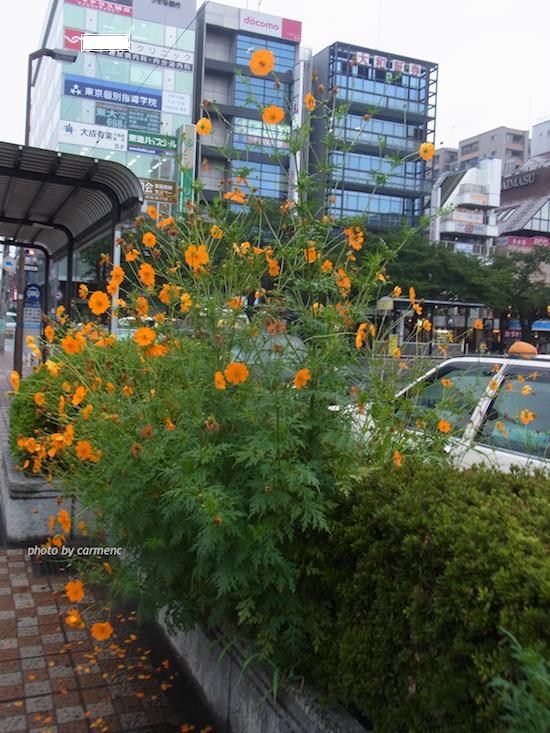 駅前コスモスの風景