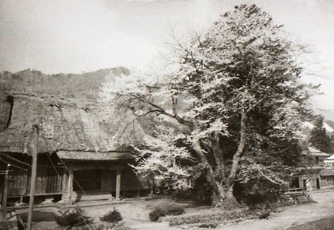 移植前の光輪寺の荘川桜