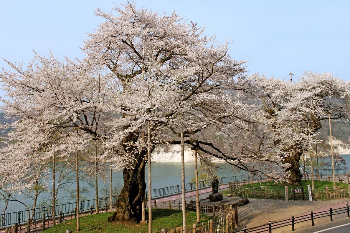 荘川桜の開花