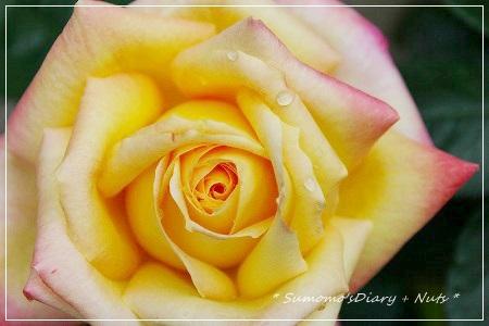 庭のバラ、満開です♪