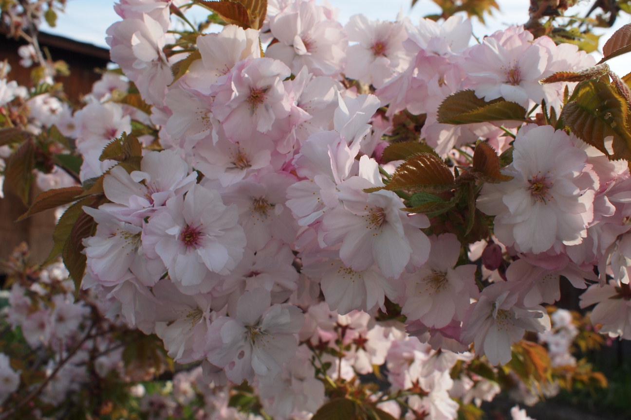 八重桜 (2)