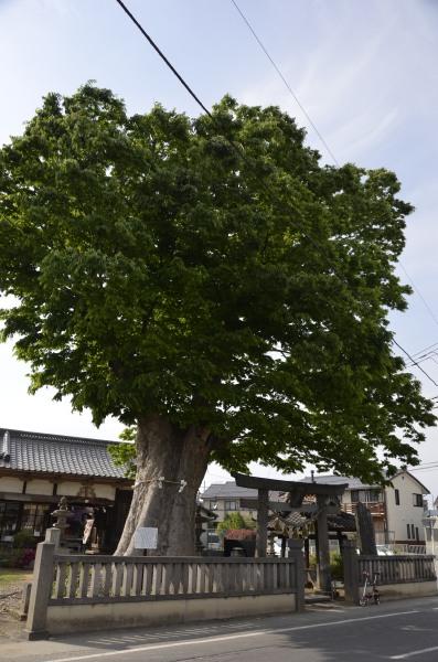 三ツ木神社の大欅